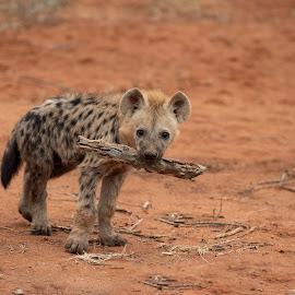 Spotted Hyena by Ronnie Bergström - Animals Other Mammals ( spotted hyena, nature, south africa, cute, picture, nikon, sand, mammals, hyena, puppy, animal, animals, wild, wildlife )