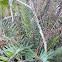 Giant leather fern