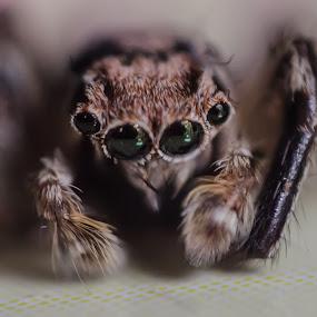 macro by Anuruddha Das - Animals Other ( macro, kolkata, india, spider, photography, photooftheday,  )