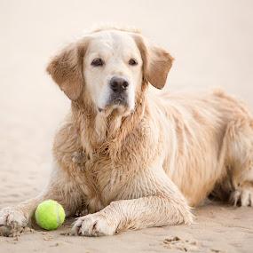 Golden Retriever by Selena Chambers - Animals - Dogs Portraits ( beach, dog, portrait, golden retriever )