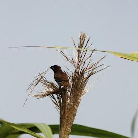 na by Prosenjit Biswas - Animals Birds (  )