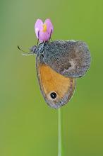 Photo: Fadet commun ou procris, Small Heath, Coenonympha pamphilus  http://lepidoptera-butterflies.blogspot.com/