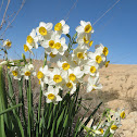 Common Narcissus