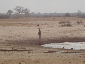 Photo: The giraffe continues to look around for danger.