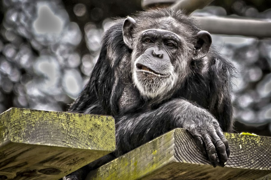 One of Those Days by Michael Gollotti - Animals Other Mammals ( chimpanzee, resting, primate, mammal, grin, animal )