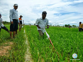 Photo: Weeding by Smart farmer - CFPAR for Kampong Speu province farmers , Lvea Village, Ang Popel commune, Korng Pisey district, Kampong speu province (10-12 Sep 2014)