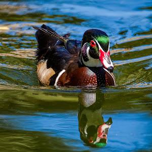 Wood Duck-71.jpg