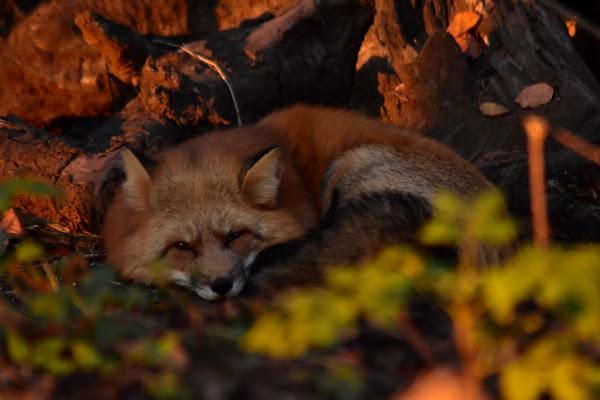 La volpe e i suoi colori  di Ciros-88