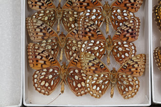 Photo: Speyeria callippe elaine (dosPassos & Grey, 1945) - The Callippe Fritillary
