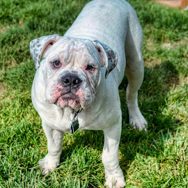 Good Diggie by Bruce Newman - Animals - Dogs Portraits ( old english bulldog, detailed, animal, dog portrait,  )