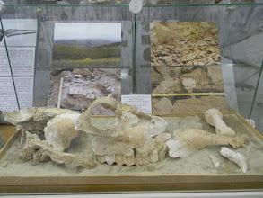 """Photo: в 2008 году близ села Прасковея на глубине 8 метров был найден скелет ископаемого верблюда. По оценкам специалистов, его """"возраст"""" - 800 тыс. - 1 млн лет! Нашу компанию особо поразили клыки - видать, не сладкой была жизнь верблюдов в те времена..."""