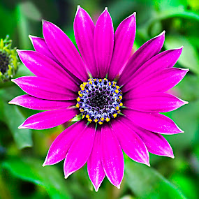 Daisy by Michael Michael - Flowers Single Flower ( wild, macro, purple, daisy, close up, flower,  )