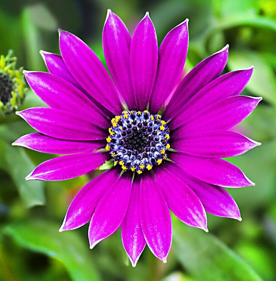 Daisy by Michael Michael - Flowers Single Flower ( wild, macro, purple, daisy, close up, flower,  )