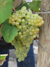 Photo: Hondarrabi Zuri grapes used in Tzakoli wine, a unique Basque dry white wine  which is drunk within one year of bottling.