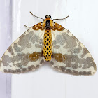 Pale-Clouded Magpie