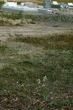 Photo: Caladenia longicaua with cemetary in the backgroud.