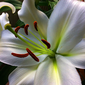 Flower Lily by Janet Skoyles - Flowers Single Flower (  )