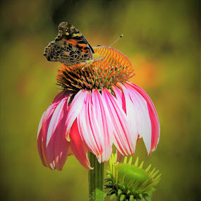 pink cone flower by Mary Gallo - Flowers Single Flower ( butterfly, macro, nature, nature up close, flower,  )