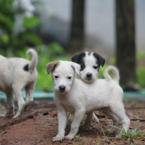 Pew pew by Vivek Chethan Muliya - Animals - Dogs Puppies ( puppies, animals, dogs, Dogs, Cats, Pets, Rabbits, Animals, pet, livestock, cows )