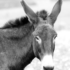 donkey bw by Carola Mellentin - Black & White Animals