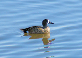 Photo: Blue-winged teal, male -  San Diego River at Mission Bay