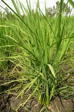 Photo: Mathew Mwaura's SRI plant [Photo Courtesy of Bancy Mati]