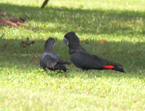Photo: Year 2 Day 216 -  Red Tailed Black Cockatoos