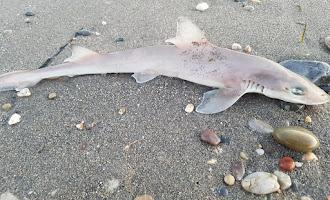 Peces muertos en la playa de El Alquián