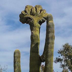 Arizona11 by Gail Marsella - Nature Up Close Other plants ( sky, desert botanical museum, sahuaro, arizona, cactus )