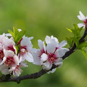 Almond tree by Alena Ajaja Koutná - Flowers Tree Blossoms