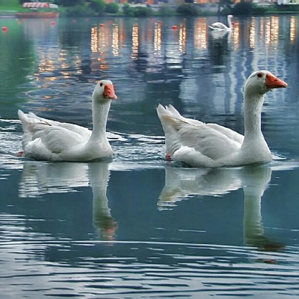 Swans by Albin Bezjak - Instagram & Mobile Instagram