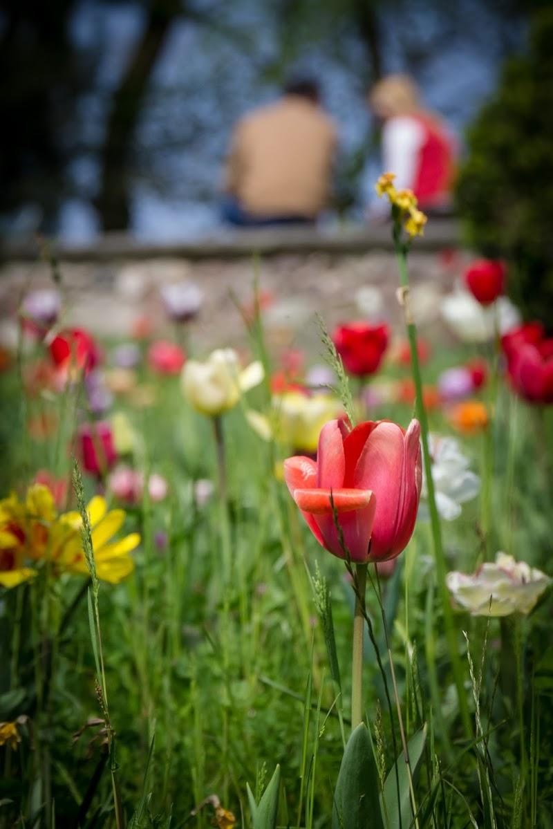 Tulipani di GabrielMunoz