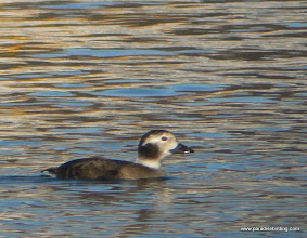 Photo: Long-tailed Duck, Victoria Harbor, Vancouver Island