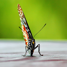 Butterfly by Adi Suda - Animals Insects & Spiders