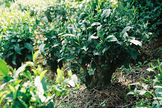 Photo: These tea trees are over one hundred years old.  They have been cropped lower to make it easier to pick the leaves.