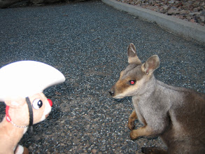 Photo: Careful RRR, you don't want to make the wallaby angry...this one looks evil!