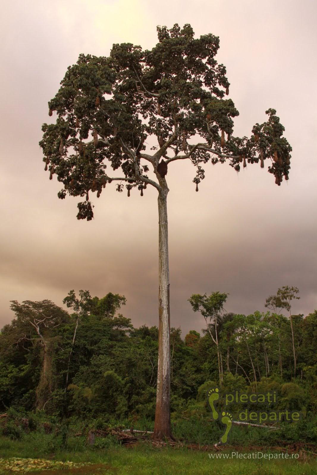 Copac plin de cuiburi de pasari tesator, in jungla amazoniana, in Rezervatia Nationala Pacaya-Samiria, Peru