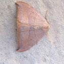 Watsonalla uncinula (Drepanidae)