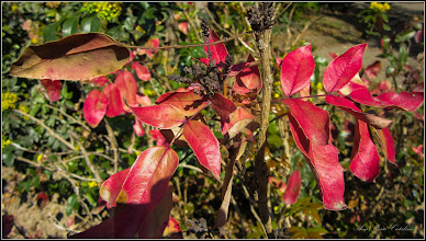 Photo: Mahonia (Mahonia aquifolium) - din Piata 1 Decembrie 1918, spatiu verde din fata catedralei - mahonia -  2017.04.15