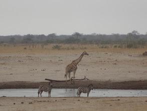 Photo: Giraffe and zebras at the waterhole