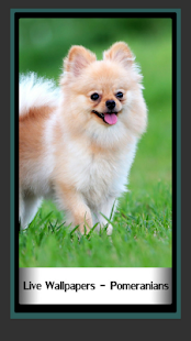 Live Wallpapers – Pomeranians- screenshot thumbnail