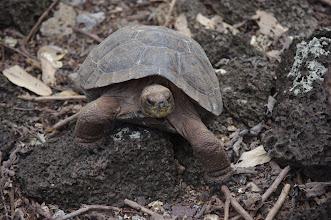 Photo: Tortoise pup