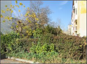 Photo: Arțar auriu (Acer negundo Kellys Gold)  - din Turda, Str. Rapsodiei, Nr. 4, spatiu verde - 2018.11.04