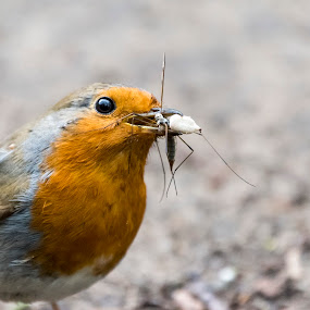 Dinner time by Kellee Wright - Animals Birds ( bird, robin, eating, cute, animal,  )