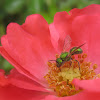 sweat bee, metallic green bee