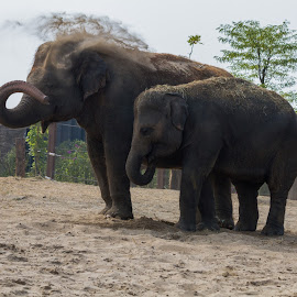 no sun burn for me and my baby by Franky Vanlerberghe - Animals Other ( plifant, elephant, olifant,  )