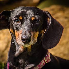 Punkin  by Teresa Husman - Animals - Dogs Portraits