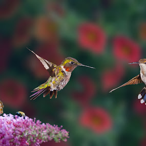 Do you come here often by Lyle Gallup - Animals Birds ( butterfly, hummingbird, flower, hummingbirds,  )