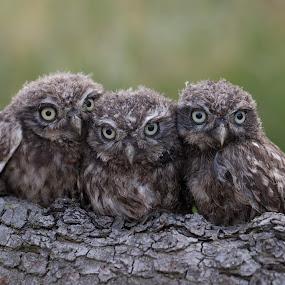 six eyes by Jürgen Sprengart - Animals Birds ( looking, bird, three, young, owls )
