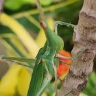 Conehead grasshopper
